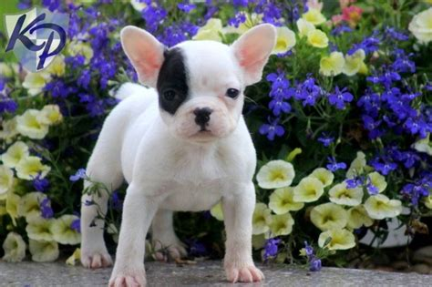 cheap bulldog puppies for sale in pa minnie bulldog puppies for sale in pa keystone puppies bulldog