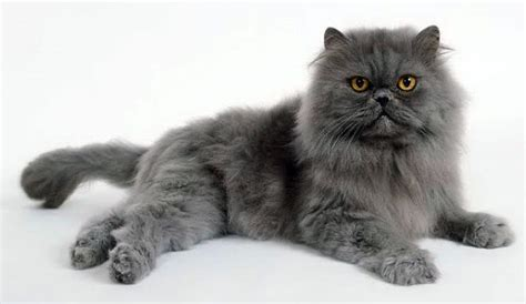 gatti persiani carattere gatto persiano variet 224 carattere e caratteristiche dei