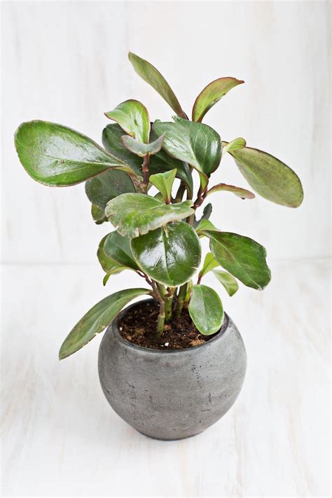 baby plants six elegant houseplants that are secure for cats and