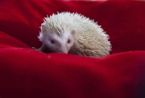 hedgehog bed rare albino hedgehogs babies in a private zoo in moscow