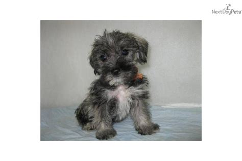 mauzer puppies mixed other puppy for sale near southeast missouri missouri 0a3c843b 1a01