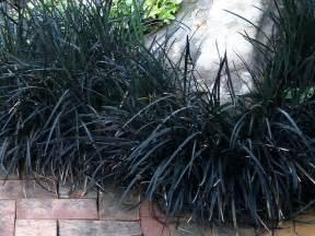 ophiopogon mondo grass black   plants