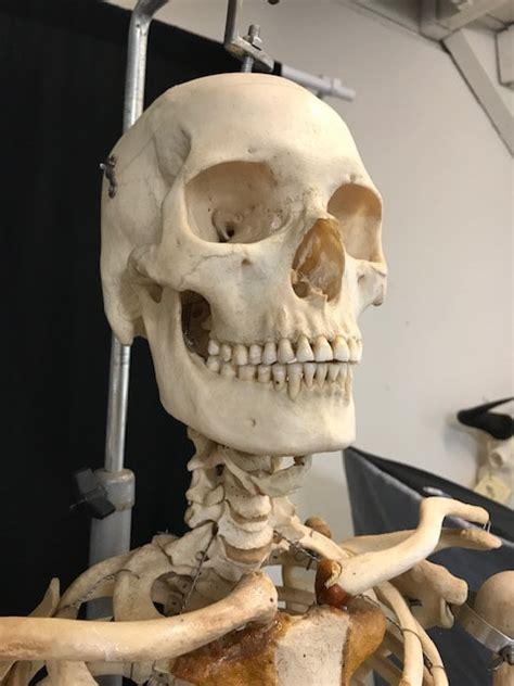 real articulated human skeleton  sale  bone room