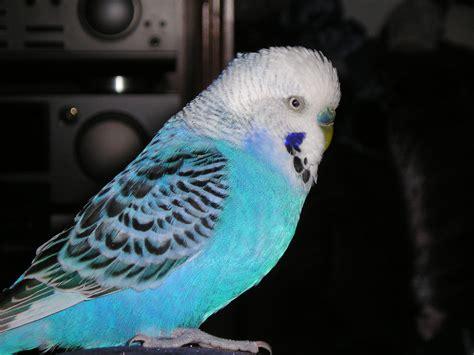 File:Wellensittich - blau.jpg - Wikimedia Commons