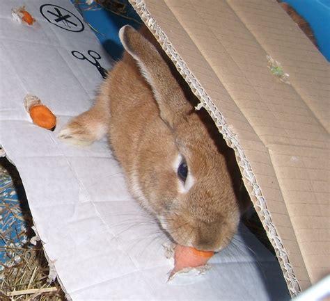 kaninchen in wohnung besch 228 ftigung f 252 r stallhasen