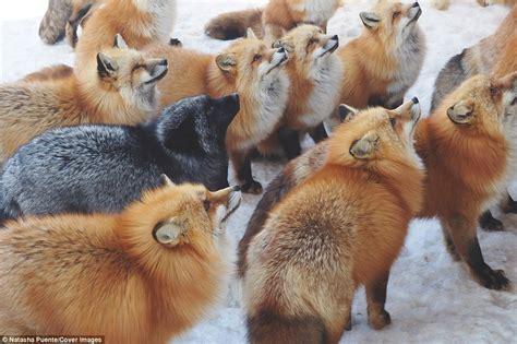Adorable Fox Pictures Capture Inside Japan Fox Safari