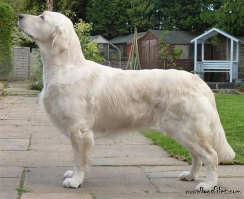 standfast golden retriever pedigree database floprym rivaldo 187 pedigree database golden retriever