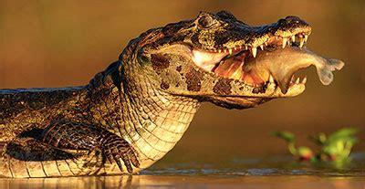 alligator gifs animated alligators clipart