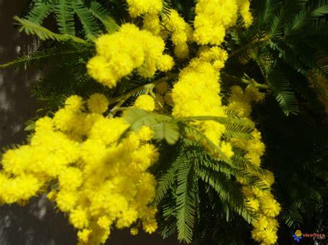 voile d hivernage 917 photo mon mimosa en fleurs de mon jardin