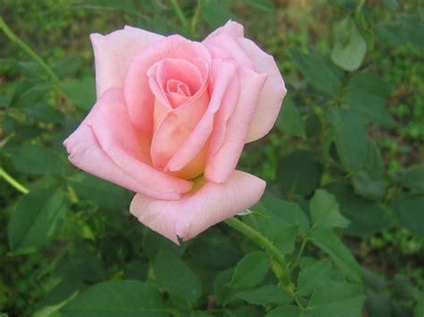 imagenes de flores rositas significado de las rosas florpedia com
