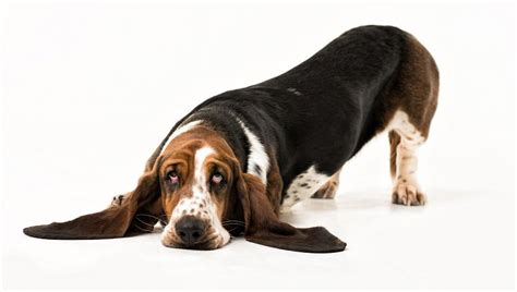 peritonitis in dogs peritonitis abdominal cavity inflammation in dogs symptoms causes treatments