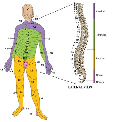 spinal sections about spinal cord injury spinal cord injury bc