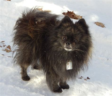 brindle pomeranian 1000 images about sir smudge on puppys pomeranian dogs and pom poms