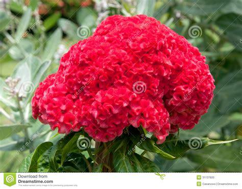 fiore cresta di gallo fiore piumato rosso della cresta di gallo sull albero