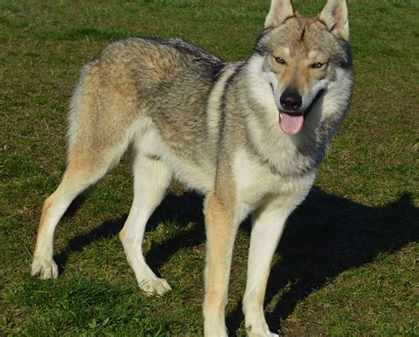 alimentazione lupo cecoslovacco lupo cecoslovacco ezra si nasce lupi montale uno