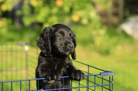 black cocker spaniel puppies 50 beautiful black cocker spaniel pictures and images