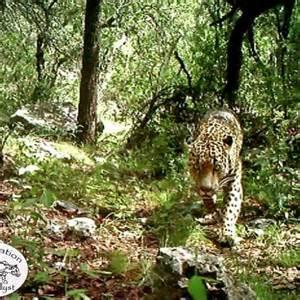 Jaguar Az Muestra Apreciado Jaguar En Monta 241 As De Arizona