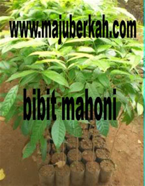 Bibit Mahoni bibit mahoni bibit tanaman mahoni jual bibit mahoni bibit