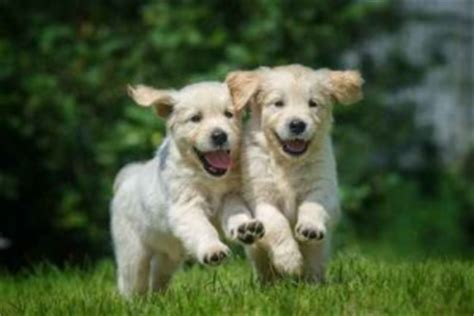 buy a golden retriever puppy 200 the best electric fence reviews anywhere dig your