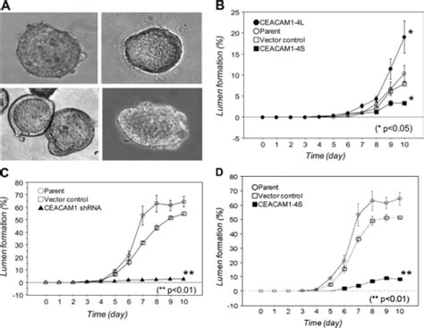 pattern formation cell culture fig3 hollow spheroids beyond the invasive margin indicate