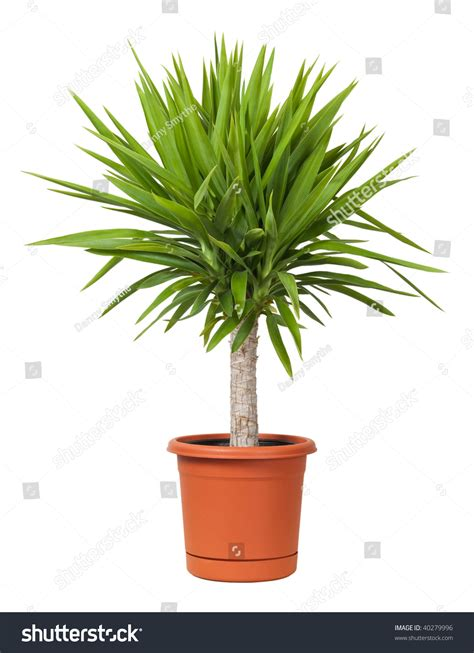yucca potted plant isolated   white background stock