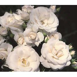 fiori simili alle fiori bianchi simili alle kwckranen
