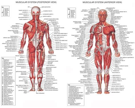 labelled muscular system diagram the human muscular system labeled diagram anatomy organ