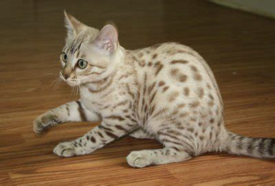 zawieco bengal cats breeder with bengal kittens for sale bengal kittens zawieco bengal cat breeders bengal