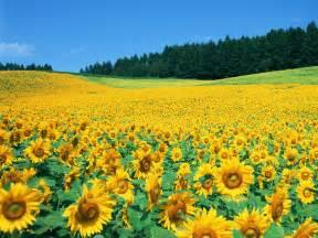 sunflower fields sweet little things beautiful sunflower