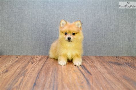 pomeranian ohio pomeranian puppy for sale near columbus ohio 942dbfbc 8c91