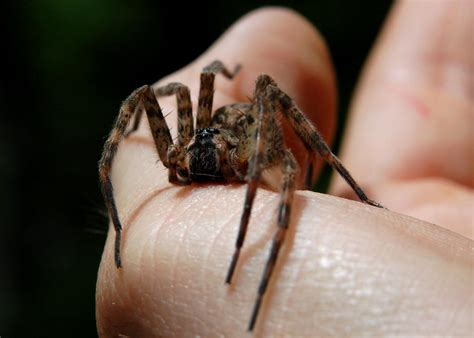 wolf spiders  beneficial insects   bite hgtv