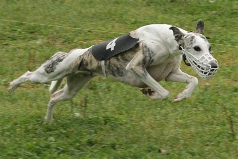 Собака английская борзая фото