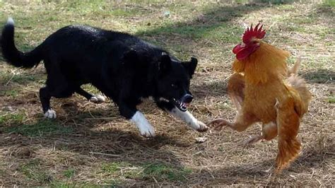 chicken dogs top 15 and chicken fighting newest compilation 2016