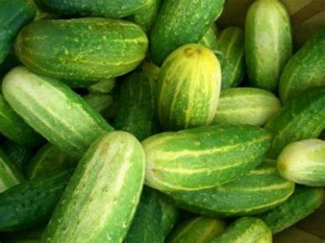 Pickle L by Heirloom Cucumber National Pickling 100 Seeds Heavy Yields