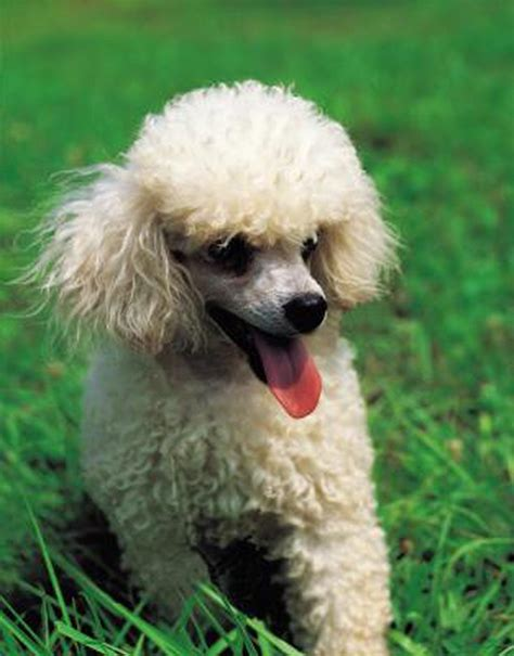 lifespan of a poodle what is the span of a miniature poodle cuteness