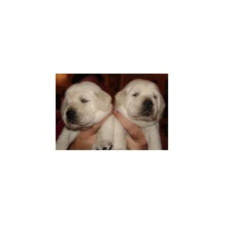 free puppies waco tx gustavus family retrievers labrador retriever breeder in waco