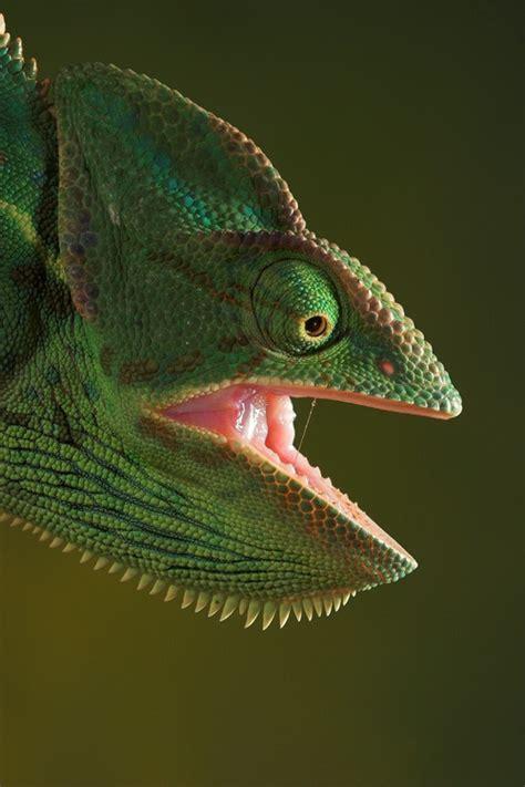 jackson chameleon it s not easy being green pinterest