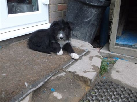 husky doodle puppies for sale only 2 labradoodle husky puppies left for sale