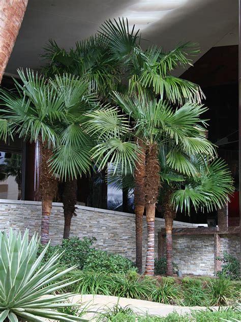 cold hardy wind mill palm tree trachycarpus fortunei
