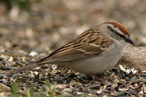 chipping sparrow feathered friends pinterest