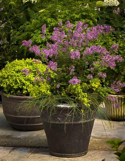 bloomerang purple lilac  sale   tree center