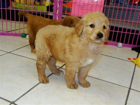 golden retriever puppies for sale ga stunning golden retriever puppies for sale in ga at atlanta columbus johns creek