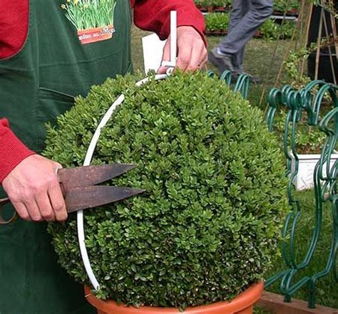 best 25 buxus ideas on - How To Trim A Topiary