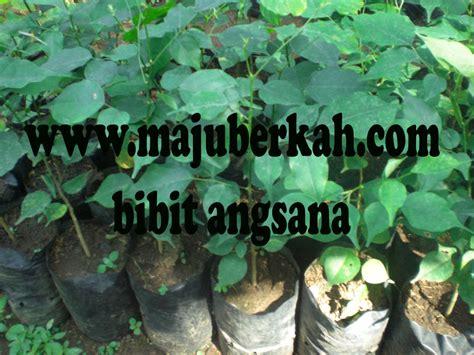 Jual Bibit Tanaman Angsana Kaskus bibit angsana bibit tanaman angsana jual bibit tanaman