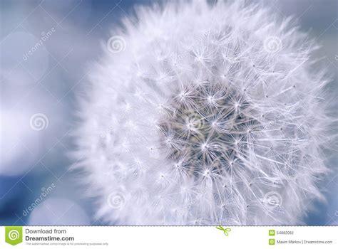 de la ligereza ligereza y pureza de la flor del diente de le 243 n foto de archivo imagen 54882062