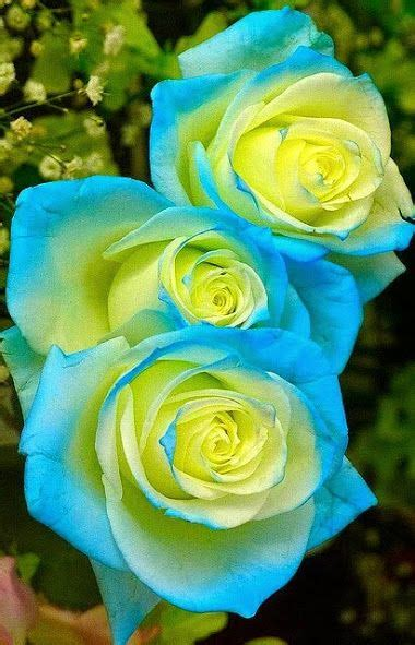 I heard if you put food coloring in the flower water it ... Fire And Ice Roses