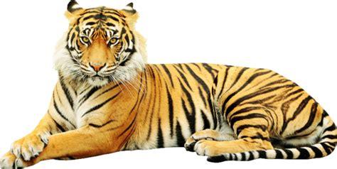 gambar harimau format png loveferrari page 265