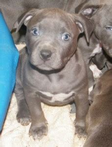 free pitbull puppies in pa dogs willow grove pa free classified ads