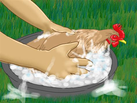 how to take care of backyard chickens how to take care of chickens with pictures wikihow