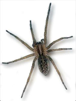 Probably a hobo spider i swear it was the size of my palm but that